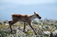 Caribou, fawn, Gaspesie, national, park, Quebec, Canada, Rangifer, tarandus, caribou, side,