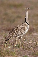 Houbara, Bustard, female, Lanzarote, Canary, Islands, Spain, Chlamydotis, undulata, side,