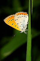 Large copper butterfly _ Lycaena dispar