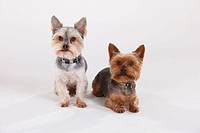 Yorkshire, Terrier, and, Mixed, Breed, Dog, Yorkshire, Maltese, crossbred,