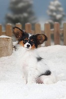 Papillon, puppy, 4, months, Continental, Toy, Spaniel, Butterfly, Dog,