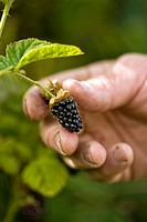 Farmer picking a fresh Blackberry from the vine.