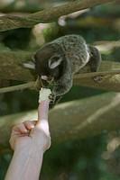 Animal, monkey, Sagui, soim, capuchin monkey, Bread Sugar, City, Rio de Janeiro, Brazil