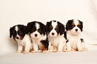 Cavalier, King, Charles, Spaniel, puppies, tricolour, 5, weeks,