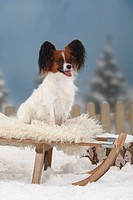 Papillon, Continental, Toy, Spaniel, Butterfly, Dog, toboggan,