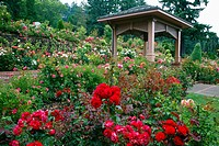 portland rose garden, portland, oregon, united states of america