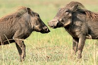 Warthogs greet each other with their flattened muzzles, Masai Mara National Reserve, Kenya