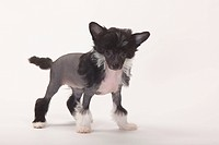 Chinese, Crested, Dog, hairless, puppy, 9, weeks,