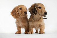 Close up of Dachshund puppies on white background