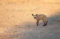 Bat-eared Fox Otocyon Megalotis   Adult   Mashatu Game Reserve  Tuli block, Botswana  November 2010