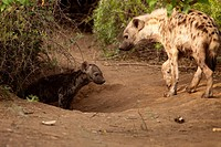 Spotted Hyena Crocuta crocuta   Hyena adult and pup at their den  One adult is left behind at the den to look after the pups while the rest of the cla...