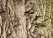 close up on bark of old, huge tree