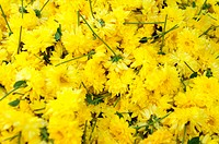 Yellow flowers for sale in market, Mysore, India (thumbnail)