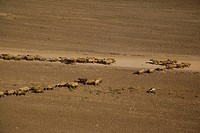 Aerial Photo of a flock of sheep in the North Negev