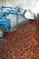 FERMENTATION OF PALM FRUIT IN A PALM OIL FACTORY, REGION OF BAN SAPHAN, THAILAND, ASIA