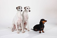 Smooth, haired, Dachshund, and, Whippets,