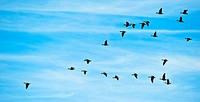 Scotland, Scottish Borders. A flock of migrating Geese in flight in the Scottish Borders.