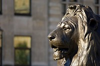 England, London, Trafalgar Square. Close_up of one of four bronze lion sculptures by Edwin Landseer at the base of Nelson´s Column in Trafalgar Square...