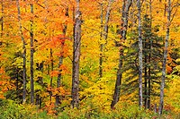 Temperate deciduous forest trees in peak autumn colour Algonquin Provincial Park, Ontario