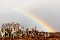 Receding storm clouds and rainbow over a birch woodlot Greater Sudbury Ontario