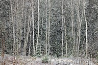 Spruce and birch trees in a snowstorm, at the edge of a meadow Greater Sudbury Ontario