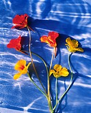 Nasturtiums with a Blue Background