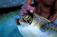 French Polynesia, Tuamotus, turtle