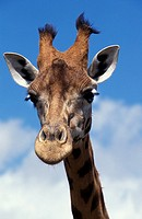 ROTHSCHILD´S GIRAFFE giraffa camelopardalis rothschildi, PORTRAIT OF ADULT