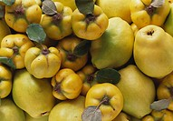 Many quinces filling the picture