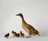 Duck with ducklings on white background, close_up