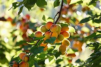 Austria, Lower Austria, Wachau, Waldviertel, Apricot tree