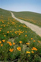 Road passing through the Poppy Reserve, Antelope Valley, California, USA