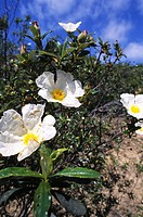 Gum Rockrose Cistus ladanifer, specie of flowering plant native from Mediterranean region, Parque Natural do Sudoeste Alentejano e costa Vicentina, Al...