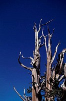 Bare Bristlecone pine trees, California, USA