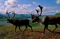 Caribou walking in a field, Alaska, USA Rangifer tarandus