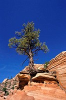 Low angle view of a tree on a cliff, Zion National Park, Utah, USA