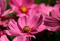 Close_up of cosmos flowers, Ashland, Oregon, USA