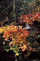 Maple tree in a forest