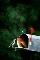 Tufted Titmouse on a mailbox