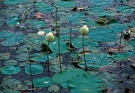 Indian Lotus in a pond