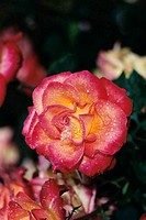 Close_up of a rose plant
