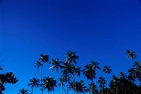 Low angle view of coconut trees, Venezuela
