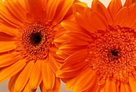 Close_up of Gerbera Daisies
