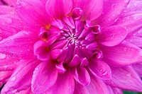 Close_up of a Worton Blue Streak Dahlia, Swan Island Dahlias, Clackamas County, Oregon, USA