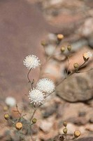 Close_up of Desert Pincushion Chaenactis fremontii