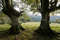 Trees from the mysterious forests of the Basque Country