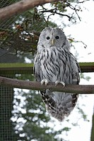 Ural owl strix uralensis perching on branch