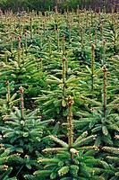 Young Spruce forest