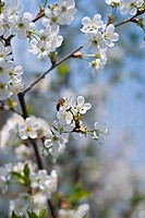 The bee collecting pollen from a cherry tree flower