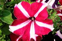 Flower, petunia
